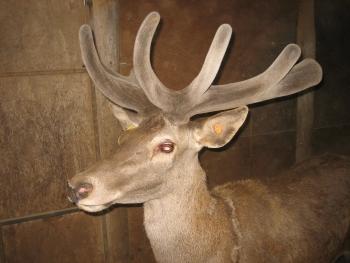 how to buy red deer australia nsw